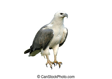 sea eagle isolated