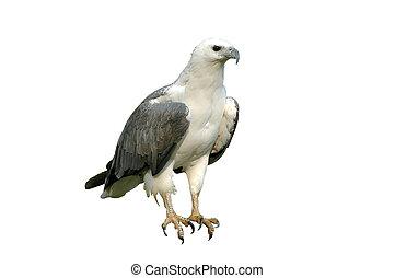sea eagle isolated