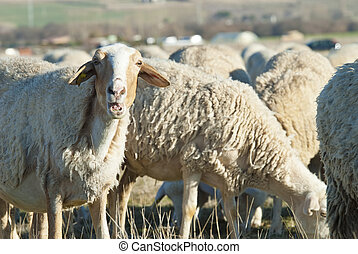Sheep grazing in the field. - Sheep grazing in the field in...