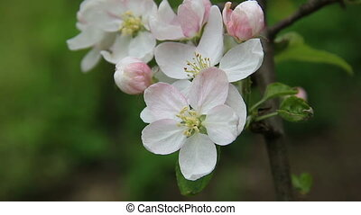 Apple tree blossom close - Apple tree blossom flowers...
