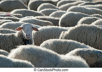 Flock of sheep. - Sheep grazing in the field in a sunny day.