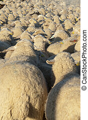 Flock of sheep - Sheep grazing in the field in a sunny day