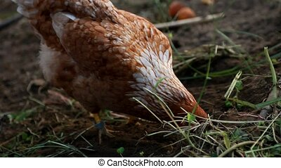 Organic grown chickens eating - Organic grown chickens...