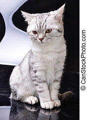 silver tabby Scottish cat against white and black background