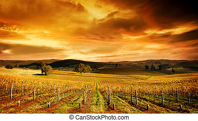 Stunning Vineyard - A stunning sunset over an autumn...