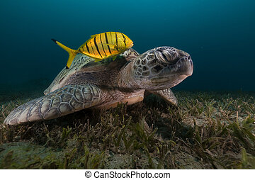 Green turtle (chelonia midas) and trevally in the Red Sea. -...