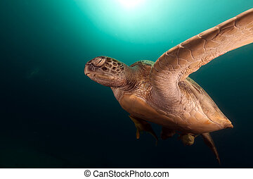 Green turtle chelonia midas in the Red Sea - Green turtle in...