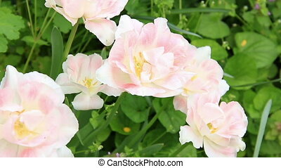Pale pink flowers bloom on the green background