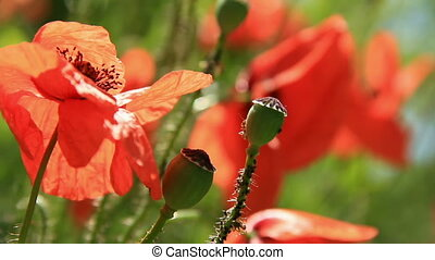 Poppys flowers closely