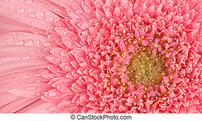 Pink Gerbera flower with drops
