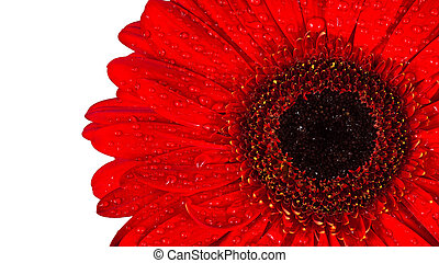 Red Gerbera flower with water drops