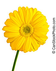 Yellow Gerbera flower isolated