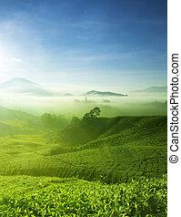 chá, fazenda