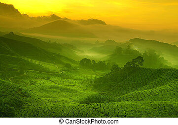 Tea plantation - Sunrise view of tea plantation landscape at...