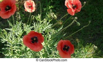 Red poppys flowers blossom