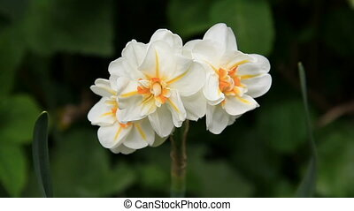 Small narcissus
