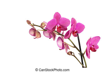 orchids - branch of violet orchids isolated on white