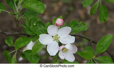 Apple tree flowers - Apple tree blossom closely