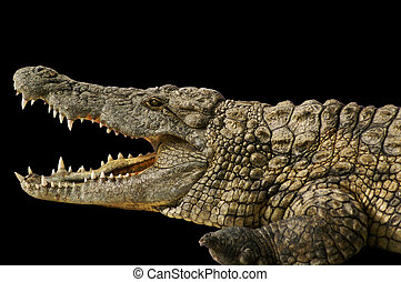 Alligator shows his teeth - dangerous in large alligator...