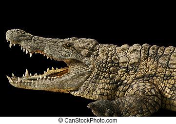 短吻鱷, 顯示, 他的, 牙齒