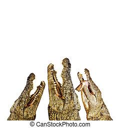 Three hungry alligators