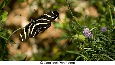 Zebra Longwing - A Zebra Longwing Butterfly lands for a...