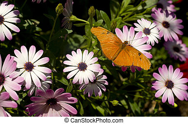 Julia - A Dryas Iulia lands on a Daisy