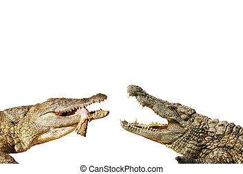 Alligators fight for food