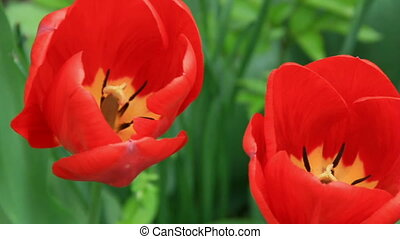 Two tulips flowers in the flowerbed closely