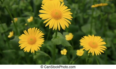 Yellow camomiles