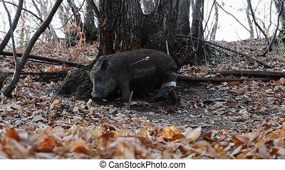 field archery practice - arrows hitting a wild boar target