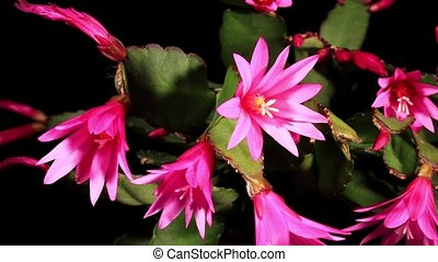Epiphytic cactus bloom on the black background Schlumbergera...