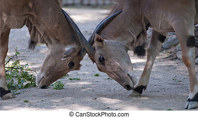 eland antelope fight - two eland antelopes fight for social...
