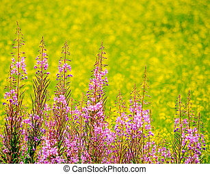 Fireweed on front and rapeseed field on the background