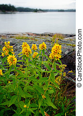 Lysimachia vulgaris - Loosestrife on the shore of Baltic...