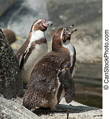humboldt penguin - two humboldt penguins standing