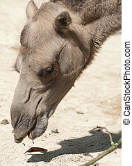 bactrian camel - a closeup portrait of a bactrian camel