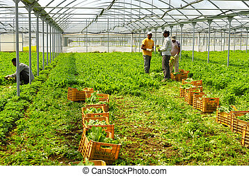 Immigrants to work in greenhouses - Agricultural production...