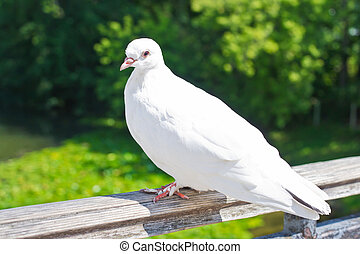 White dove in Moscow, Russia, East Europe