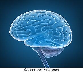 humano, cerebro, espinal, cuerda