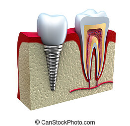 anatomia, saudável, dentes, detalhes