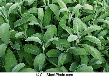 Sage plant in an herb garden
