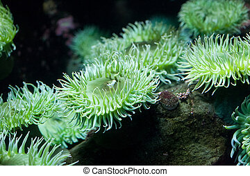 Green Sea Anemone close up