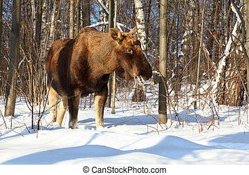 big female of elk in woods at winter at Elk Island in Moscow, 9 km from Kremlin
