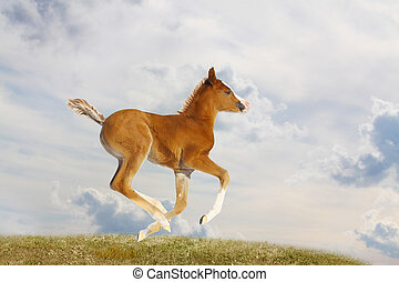 purebred arab filly