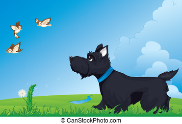 Scottish terrier - Dog walking and watching birds