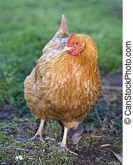 Rogue hen - Single orange chicken hen on grass eyeing the...