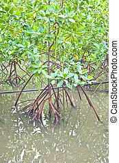 Mangrove tree - mangrove tree at the mangrove forest