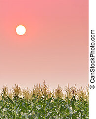 Sunset in sky over the field corn
