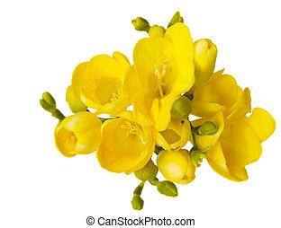 yellow freesia flowers isolated on white background